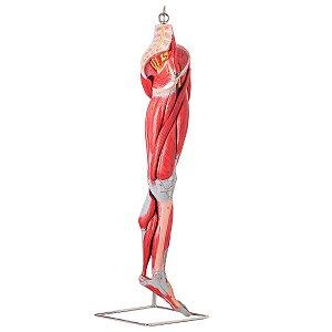Músculos do Membro Inferior com Principais Vasos e Nervos em 10 Partes (perna) - TZJ-4020-A
