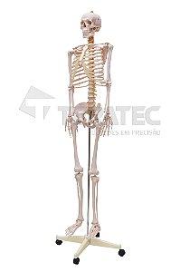 Esqueleto Humano Padrão de 1,70 cm com Suporte Haste e Base