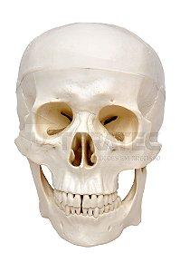 Crânio com Mandíbula Móvel em 3 Partes - SD-5006