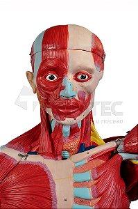 Figura Muscular de 1,70cm com Órgãos Internos em 28 Partes
