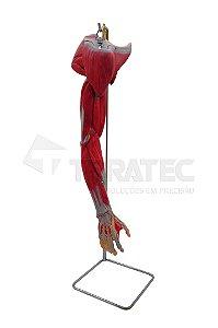 Braço com Músculos, Vasos e Nervos em 6 Partes - SD-5027