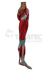 Perna com Músculos Vasos e Nervos em 10 Partes - SD-5028