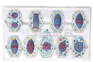 Mitose em 9 Fases - SD-5070