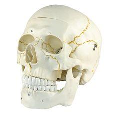 Crânio Numerado - TGD-0102-N