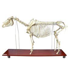 Esqueleto de Cavalo Tamanho Natural - TGD-0608-C