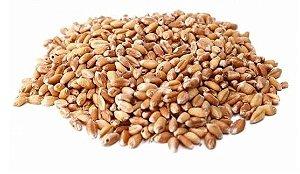 Trigo em grãos