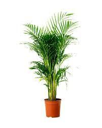 Palmeira Areca - 1,5 mt