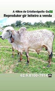 Reprodutor gir leiteiro pedigree C.A Sansão