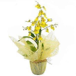 Orquídea da Prosperidade =  Chuva de Ouro