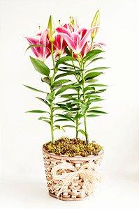 Lírio rosa plantado