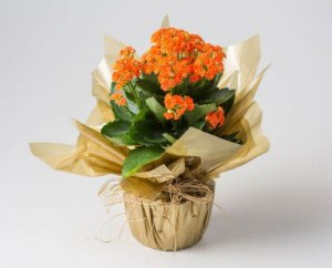 Flor da Fortuna Laranja ou Rosa