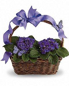 Surpresa de violetas Roxas