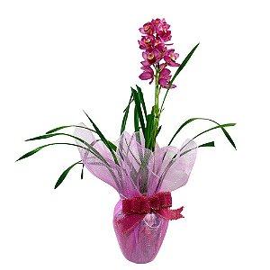 Orquídea Cymbidium Pink