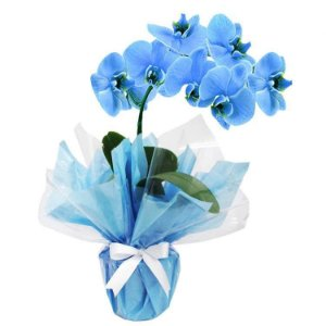 Orquídea Azul Mistico