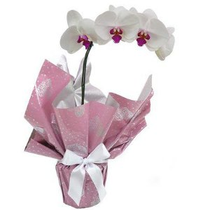 Luxuosa Orquidea Exótica Semi Alba Plantada
