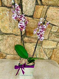 Orquídea Phaleonopolis Pintadinha espelhada