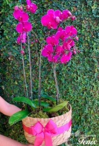 Mega Jardim de orquídeas Phalaenopsis