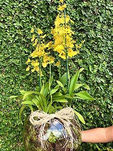 Trio de Orquídea Chuva de ouro no vaso de vidro