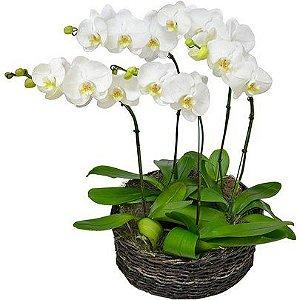 Sofisticadas orquideas phalaenopsis branca