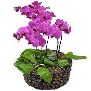 Sofisticadas orquideas phalaenopsis pink