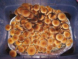 Psilocybe cubensis SYZYGY - Seringa de 5ml com esporos para cultivo