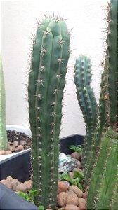 Cacto Sagrado San Pedro (Trichocereus pachanoi) - 1 muda de 30cm aprox.