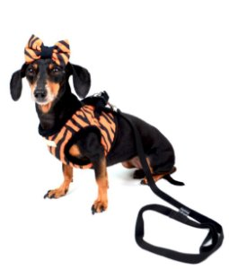 Peitoral com Guia para Cachorro Tigre