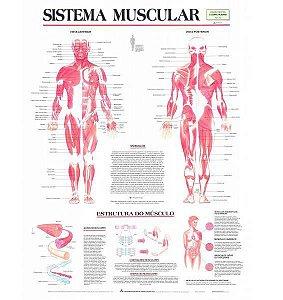 Mapa Sistema Muscular 1,20x90cm, em Papel Off Set, laminado frente e verso com bopp brilho, mod.: SIST-MUSCULAR (Bia Mapas)
