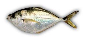 Peixe Palombeta Inteira KG