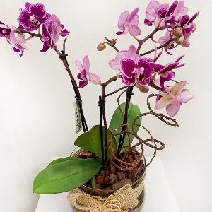 Orquídea Mini Phalaenópsis
