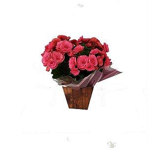 Begônia Pink Presente