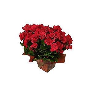 Begonia Vermelha Presente
