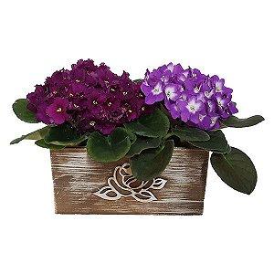 Dupla de Violetas Coloridas