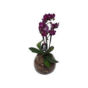 Mini Phalaenópsis Pink