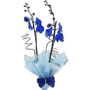 Orquídea Phalaenópsis Azul Presente