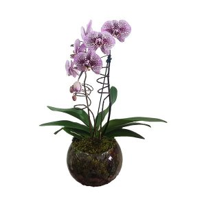 Orquidea Phalaenopsis Exótica no Vidro