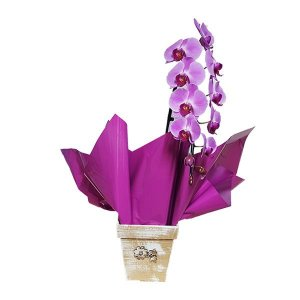 Orquídea Phalaenópsis Pink Cascata
