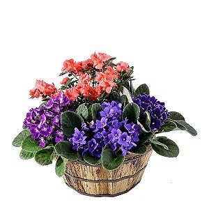 Violetas com Azaleia