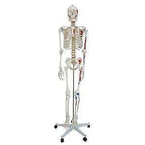 Modelo Anatomico Esqueleto com Aprox. 168 cm Articulado e Muscular