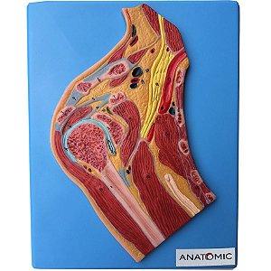 Secção de Articulação do Ombro