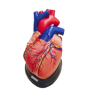 Coração Ampliado c/ 5 partes