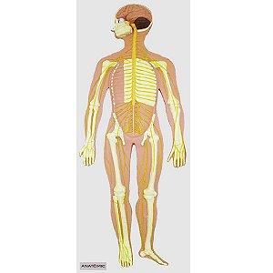 Sistema Nervoso em Prancha