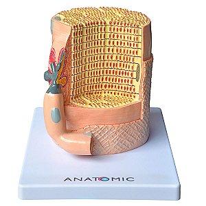 Fibra Muscular Ampliada