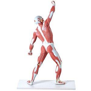 Manequim Muscular de 50 cm