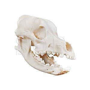 Crânio Natural de Cachorro (Canis Lupus Familiaris)