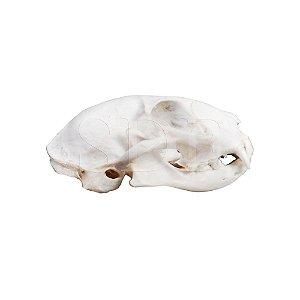 Crânio Natural de Gato (Felis Catus)