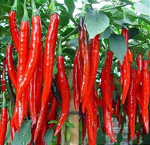 Sementes de Pimenta de Cayene