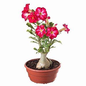 100 Sementes de Rosa do Deserto