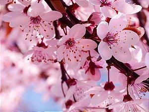 10 Sementes Sakura Flor de Cerejeira