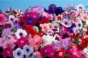 900 Sementes Flor Petúnia Multiflora Anã Sortida